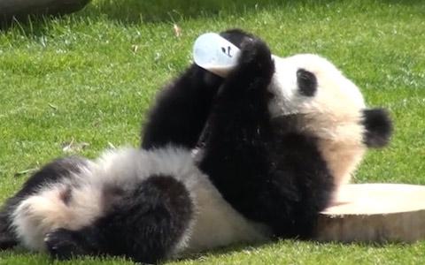 パンダの画像 p1_5