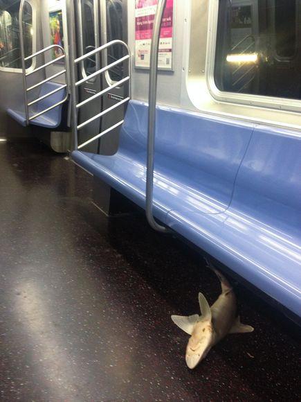 Nationalgeo 20130809001 アメリカの地下鉄でサメが発見される!