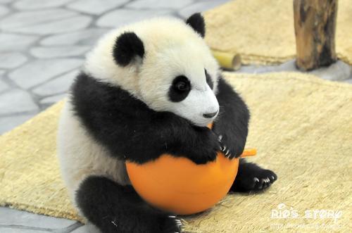 画像  ぱんだ!パンダ!様々な可愛いポーズ! おもしろ画像集 , NAVER まとめ