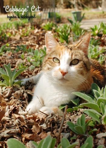 いないと思ったら、また花壇でひなたぼっこですか。しょうがないなぁ。ちなみ... 花壇のキャベツ猫
