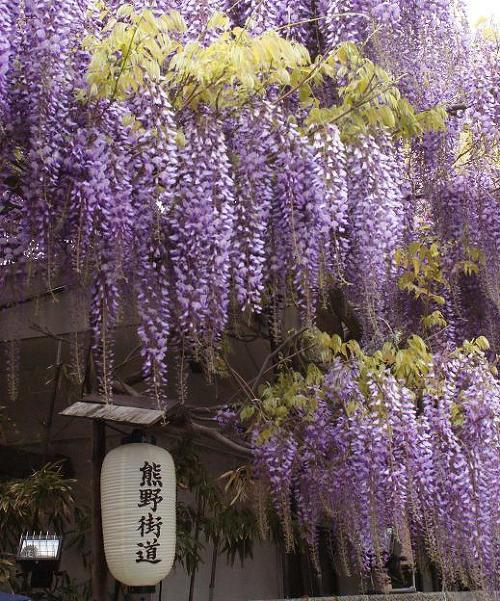 紫の霞と見間違うほどの美しさとボリューム!信達宿の野田藤 ...