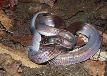 [^o^]日本宠物蟒蚺图鉴[后篇] - 蟒蛇 爬行天下
