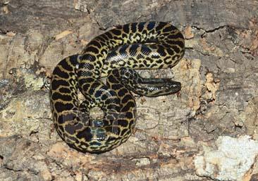 [^o^]日本宠物蟒蚺图鉴[前篇] - 蟒蛇 - 爬行天下