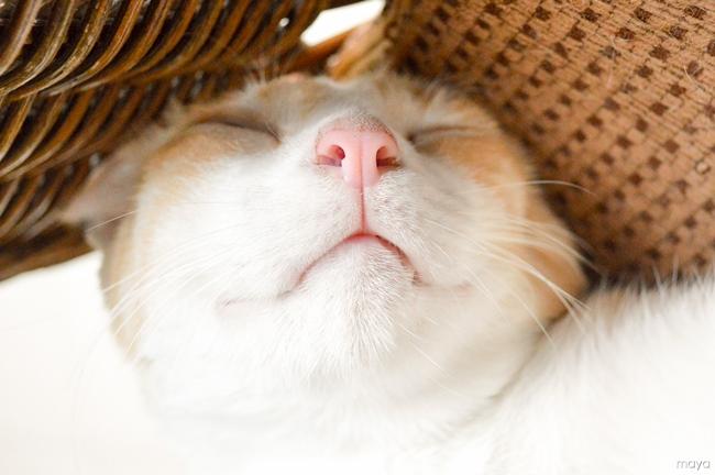 脱力系のネコ