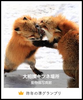大相撲キツネ場所/動物園写真館